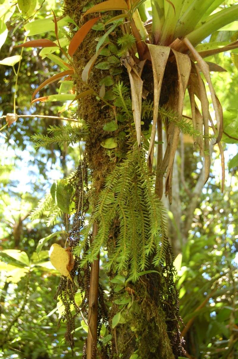 Lycopodium cernuum, Lycopodium Siebernianum et Lycopodium taxifolium en Guadeloupe Dsc_0517