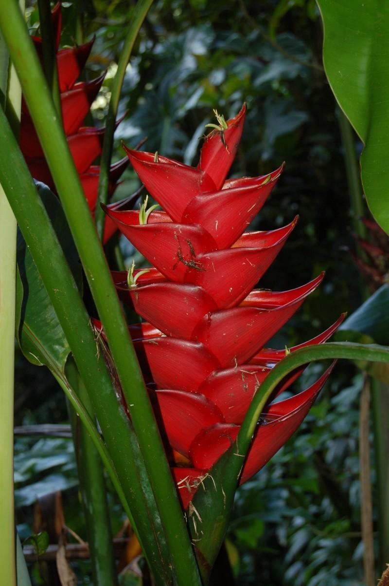 Heliconia caribea Dsc_0611