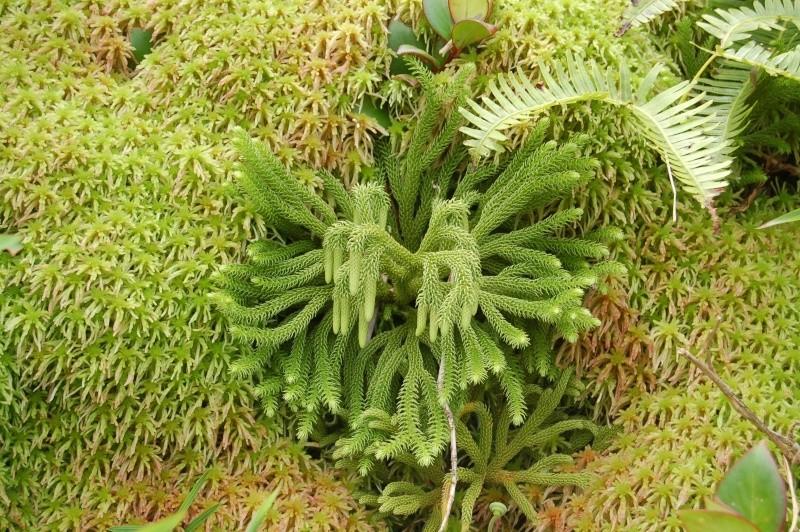 Lycopodium cernuum, Lycopodium Siebernianum et Lycopodium taxifolium en Guadeloupe Dsc_0619