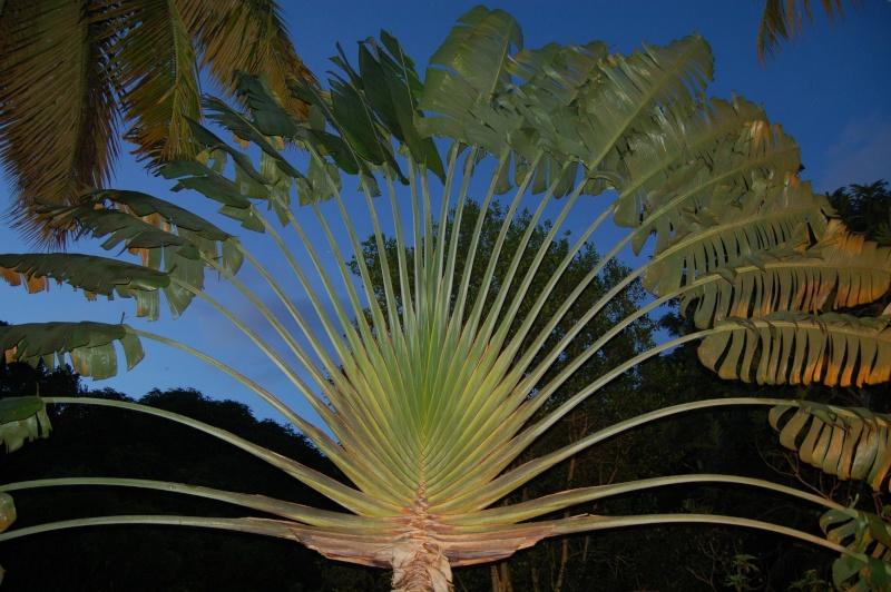 l'arbre du voyageur Dsc_0620