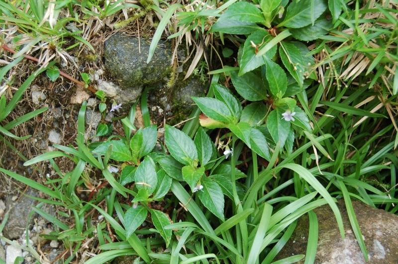 viola stipularis Dsc_0712