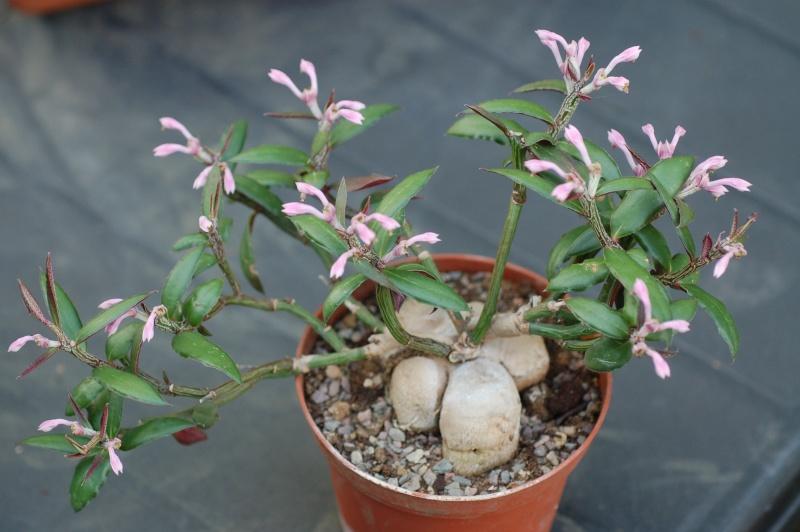 Monadenium rubellum Dsc_8117