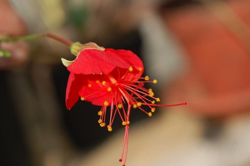 Hibiscus grandidieri var greveanus Dsc_8213