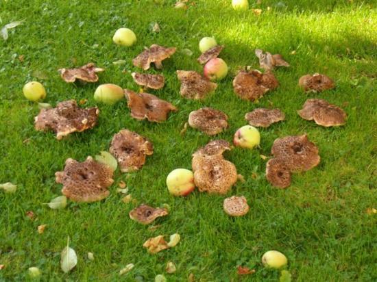 Conserve de champignons Acaill10