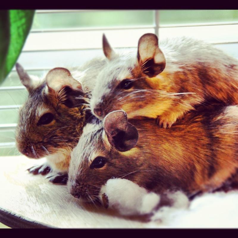 Quand je serais grande Maman, je serais éleveuse de cochon d'inde Photo_10