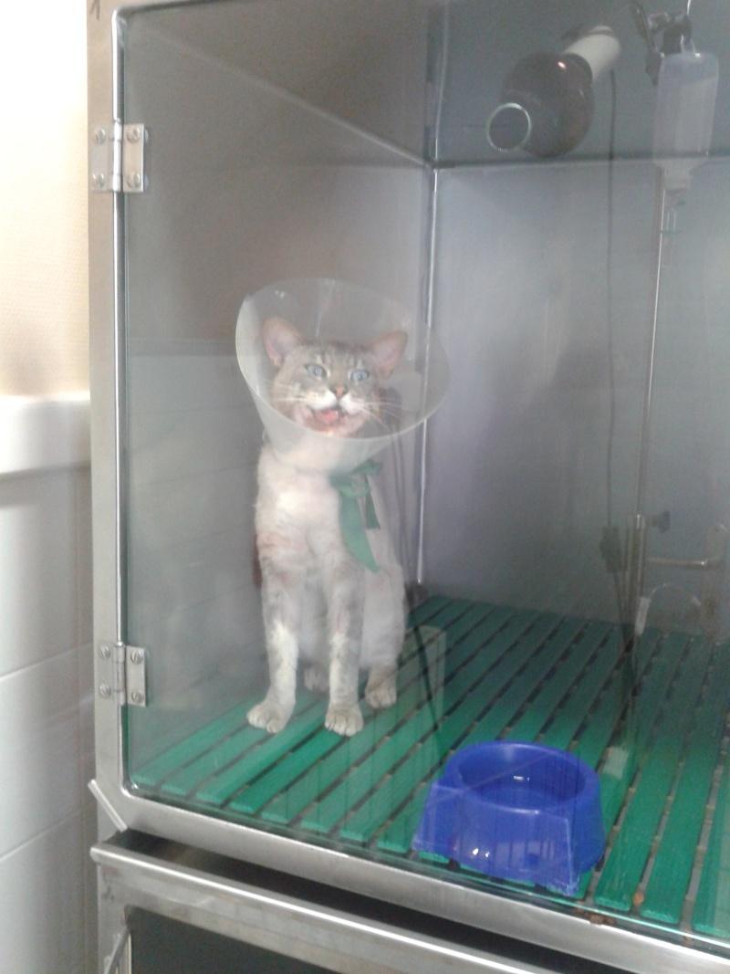 (Clos, merci à tous) EXTREME URGENCE!!!appel aux dons pour h'after chat type siamois opéré en urgence  20130716