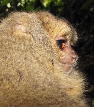 Zoologie - biodiversité - singe hibou - porc-épic - musaraigne - National Geographic -  menacé - mammifère - septembre 2012 - parc national tabaconas Namballe - Equateur - forum