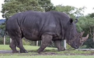 zoologie - forum - rhinocéros blanc - espèce menacée - braconnage - trafic de cornes - rhinocéros noir - Ceratotherium simum - Diceros bicornis - Afrique du Sud - pachyderme - aout 2012 - mammifère