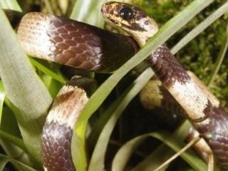 Zoologie - herpétologie - serpent mangeur d'oeufs - reptiles - Sierra de Tabasará - Panama - Sibon noalamina - Sebastian Lotzkat - nouvelle espèce - septembre 2012