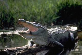 zoologie - reptile - saurien - alligator - Floride - Westie - The Villages - Etats Unis - forum - herpétologie - Steve Gustafson - Un sexagénaire sauve de justesse son chien attaqué par un alligator en Floride (septembre 2012) - septembre 2012 - West Highland White Terrier -  Florida Fish and Wildlife Conservation Commission