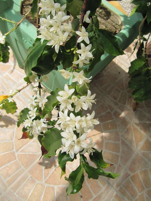 floraison de mon caféier Img_0511