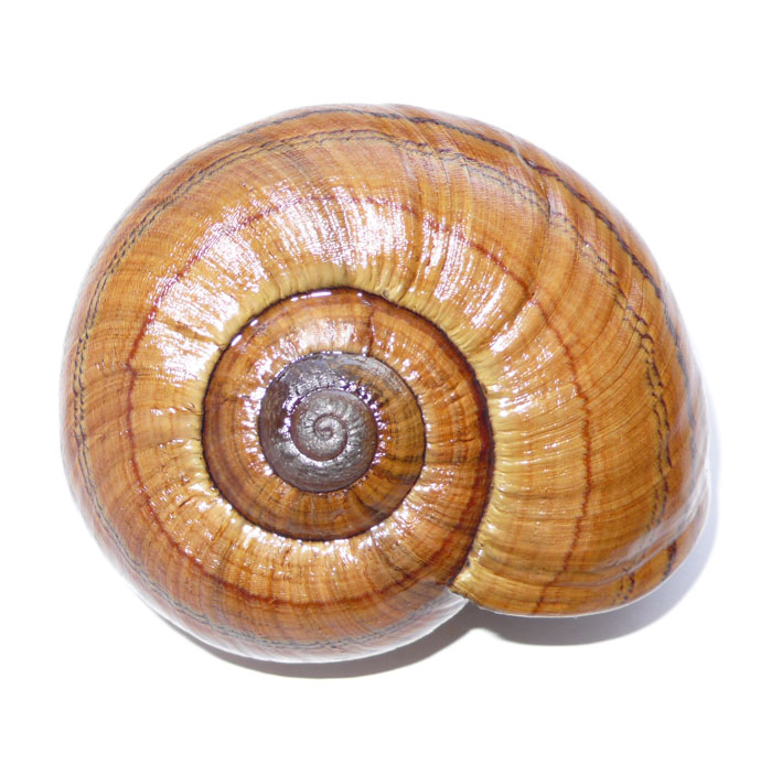 Propositions & avancées dans le forum des mollusques continentaux. - Page 7 Miniat10