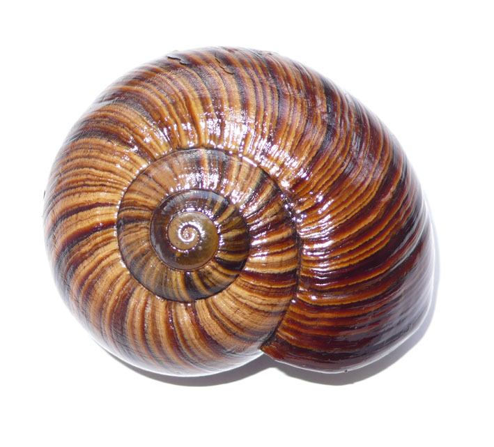 Propositions & avancées dans le forum des mollusques continentaux. - Page 7 Miniat11