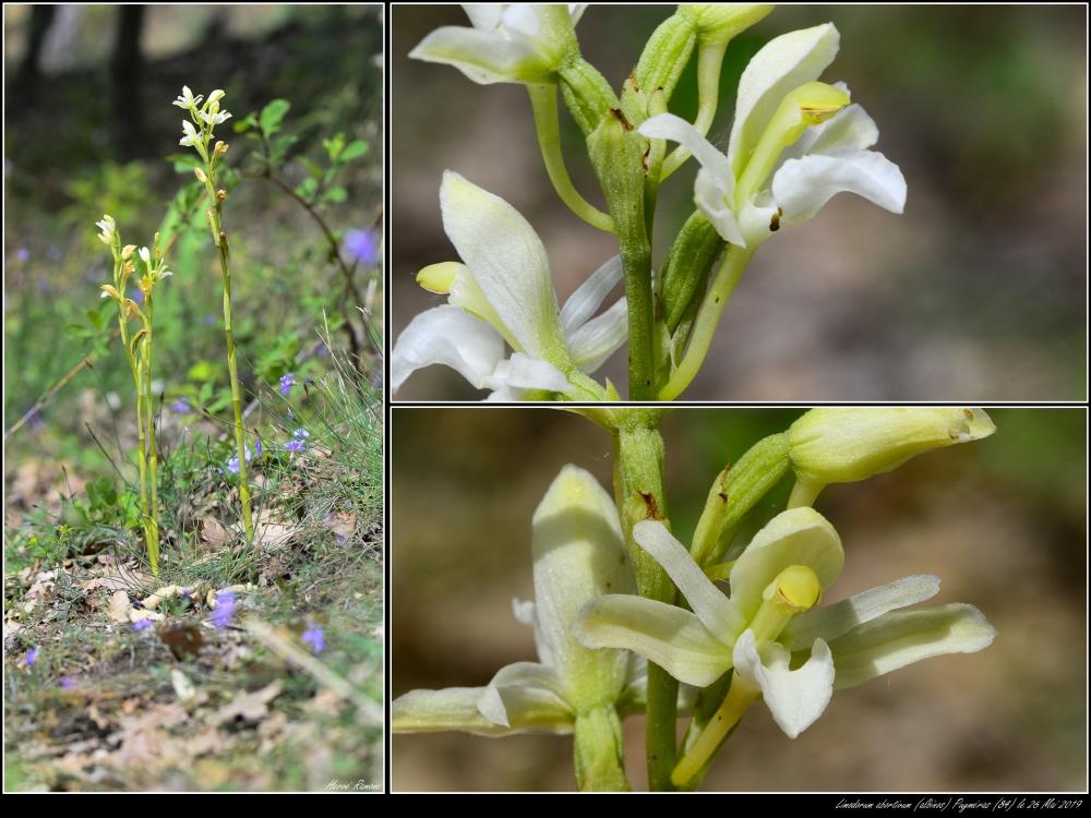 Limodorum abortivum  ( Limodore à feuilles avortées ) Montag13
