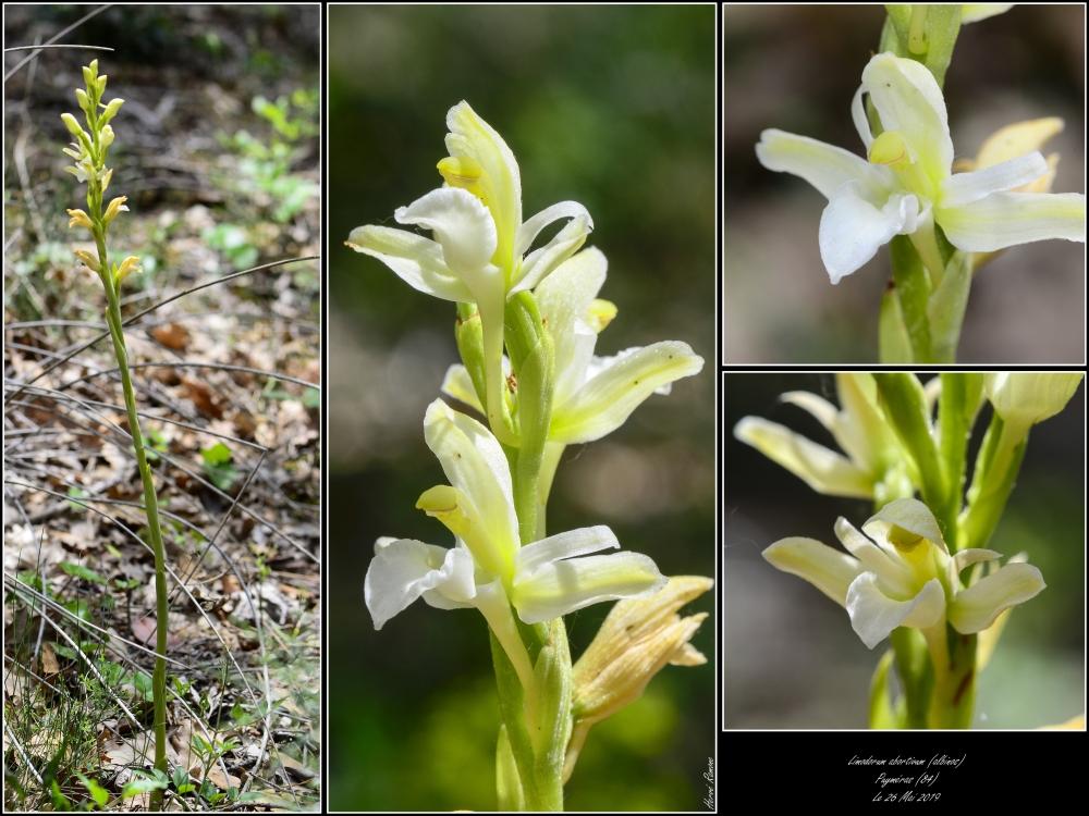 Limodorum abortivum  ( Limodore à feuilles avortées ) Montag14