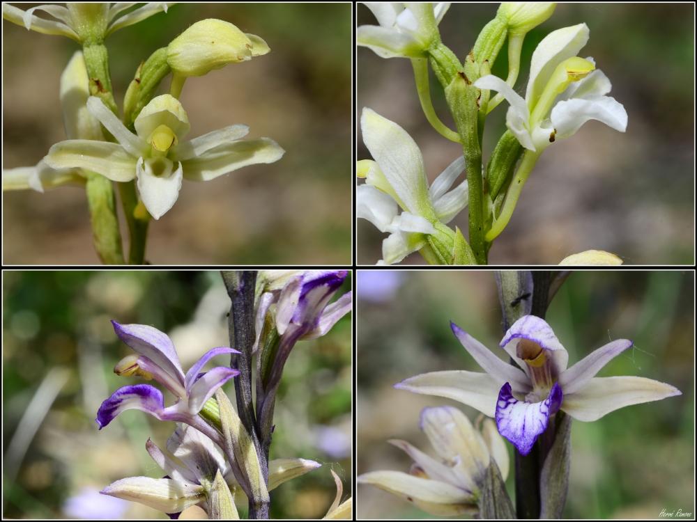 Limodorum abortivum  ( Limodore à feuilles avortées ) Montag15