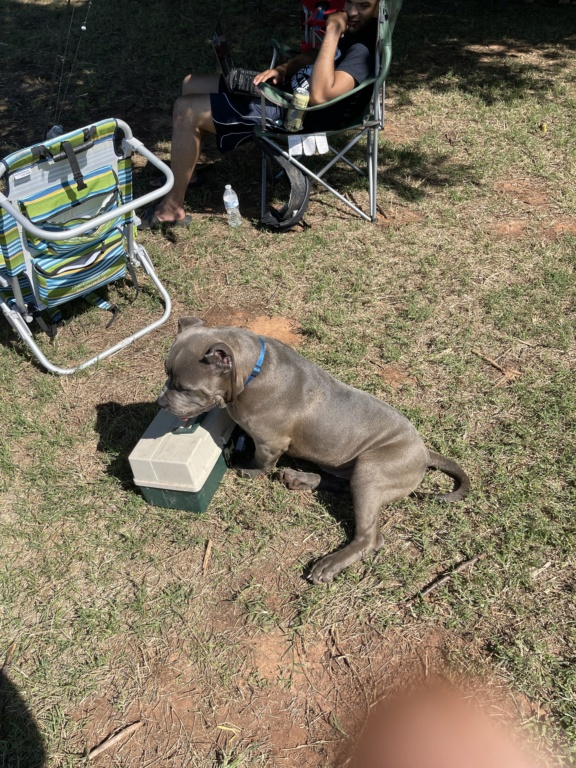 Pit Bull Terrier -  263dad10