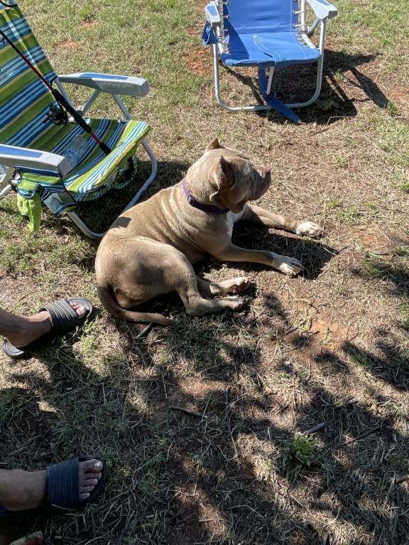 Pit Bull Terrier -  665f8310