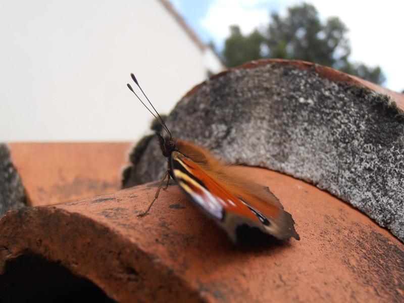 Un paon de jour photo de aout 2012 P8250012
