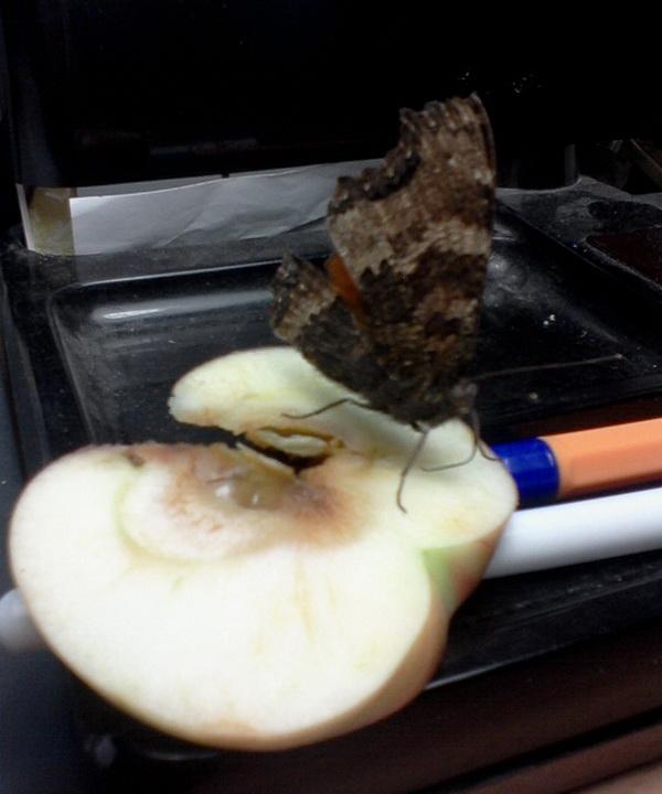 Ручная бабочка Ddnd-011