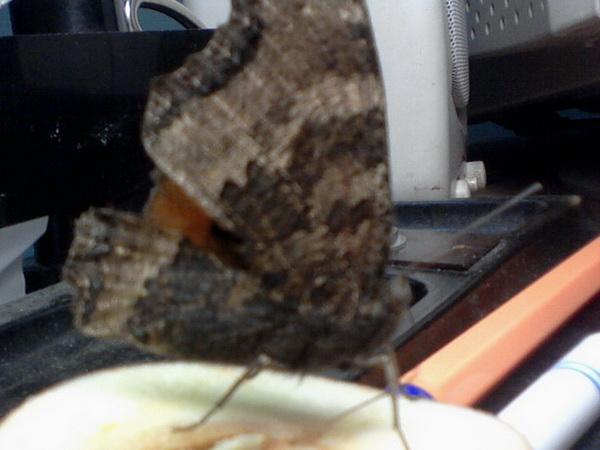 Ручная бабочка Ddnd-012