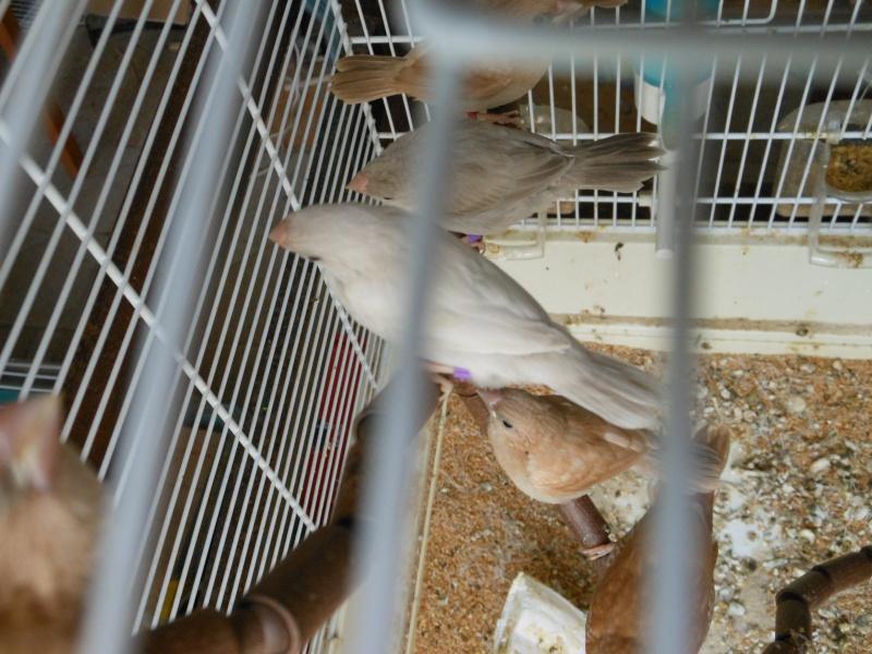 jeunes roux brun et roux gris Dscn2918
