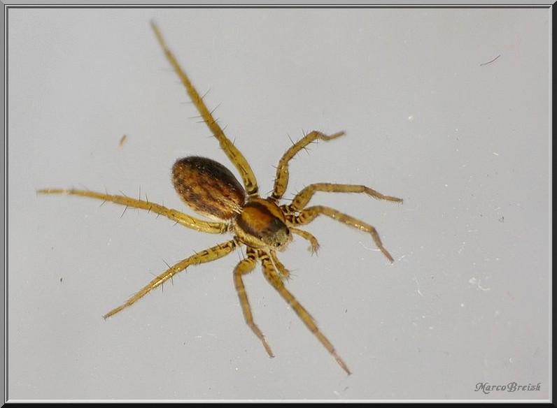 Lycosidae => Pardosa Imgp2316