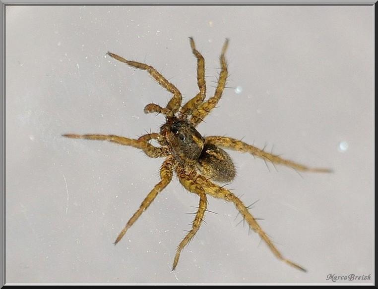 Lycosidae => Pardosa Imgp2318