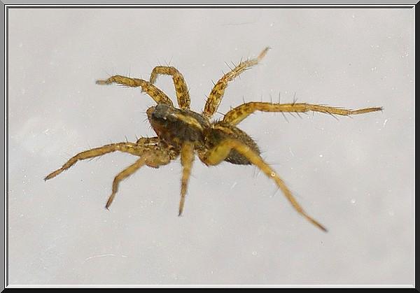Lycosidae => Pardosa Imgp2319