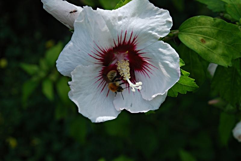Petite tortue et abeille Dsc_0011