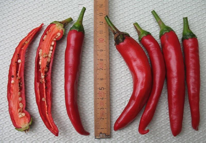 Solanaceae - Tomaten & Chili, aber auch Petunien und andere Schönheiten ;) - Seite 98 Black-10