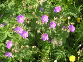 un geranium vivace Imgp8221