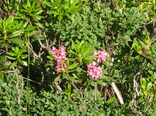 rhododendron ferrugineum Imgp8222