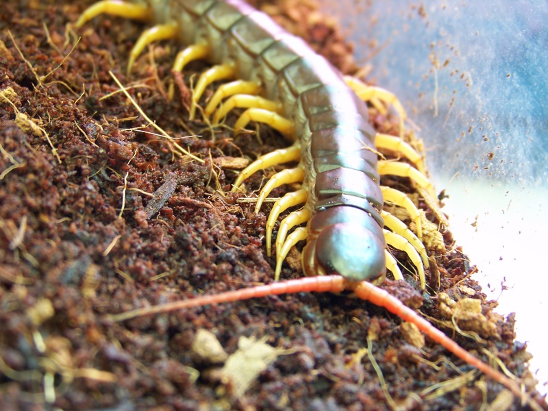 Scolopendra subspinipes dehaani 00112
