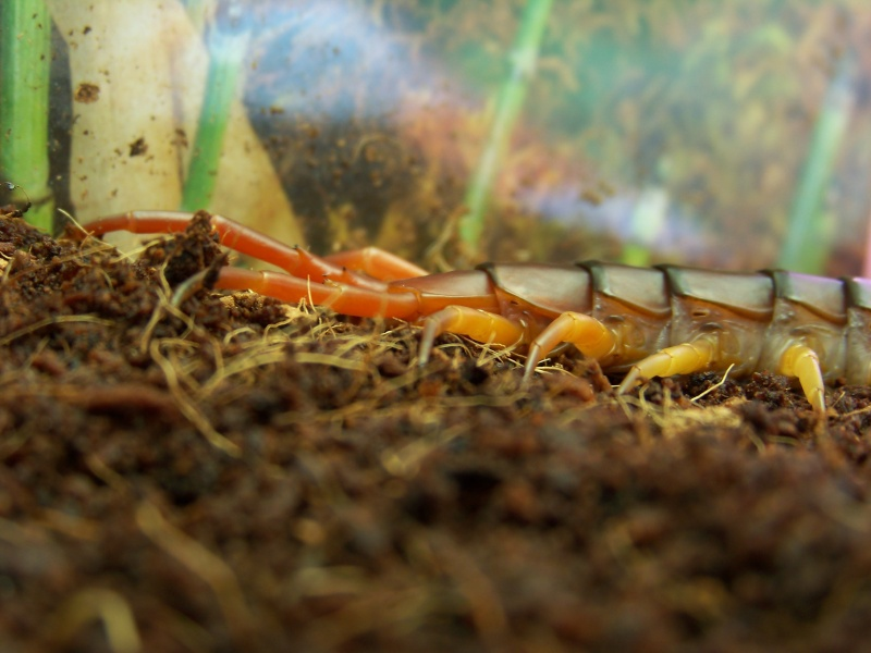 Scolopendra subspinipes dehaani 00812