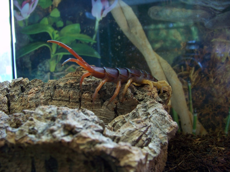 Scolopendra subspinipes dehaani 01110