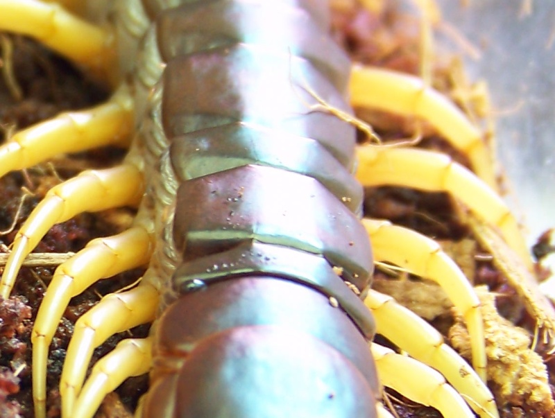 Scolopendra subspinipes dehaani 01410