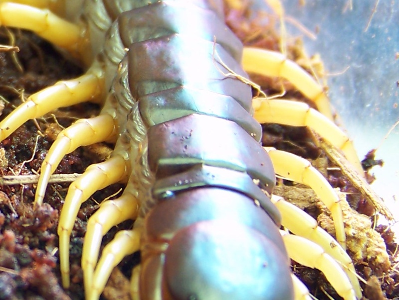 Scolopendra subspinipes dehaani 01711
