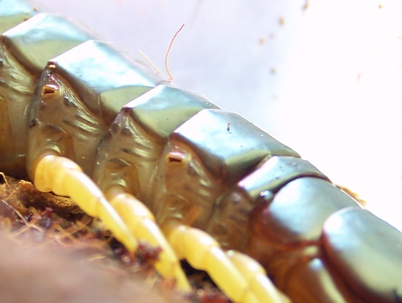 Scolopendra subspinipes dehaani 01911