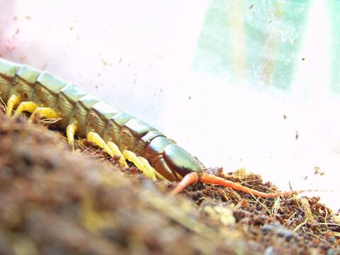 Scolopendra subspinipes dehaani