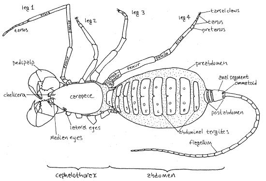Mastigoproctus giganteus Caresheet Uropyg10