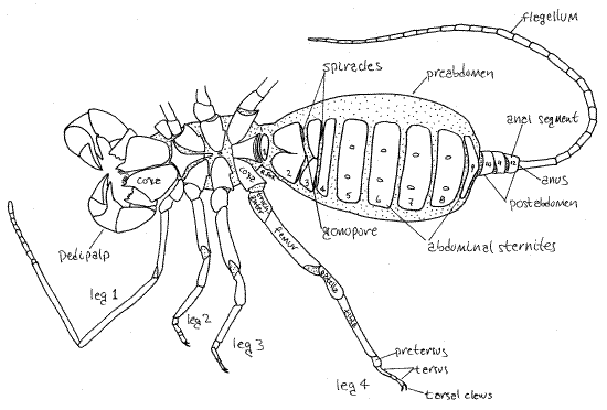 Mastigoproctus giganteus Caresheet Uropyg11