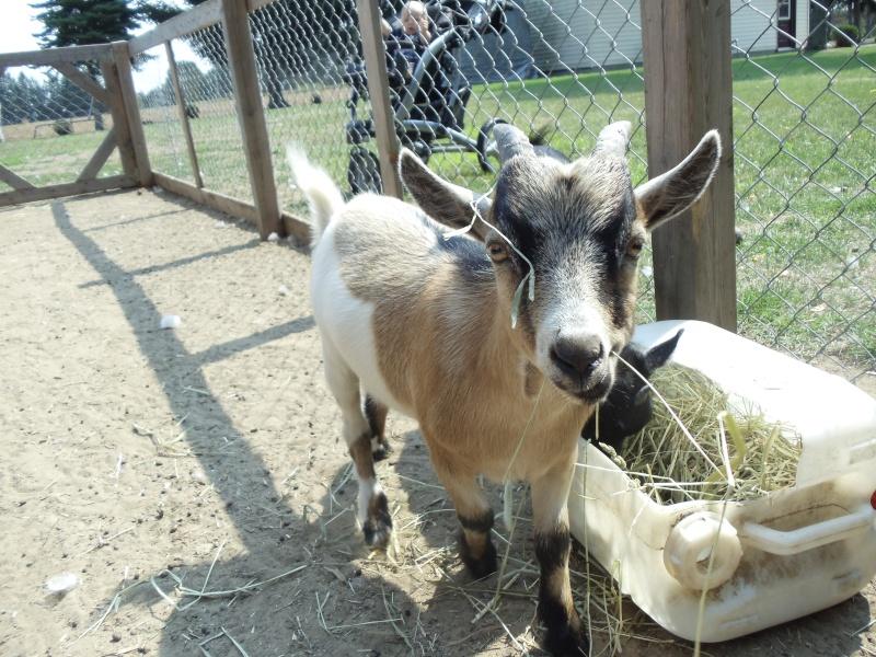 Chèvres miniature à vendre Alexis12