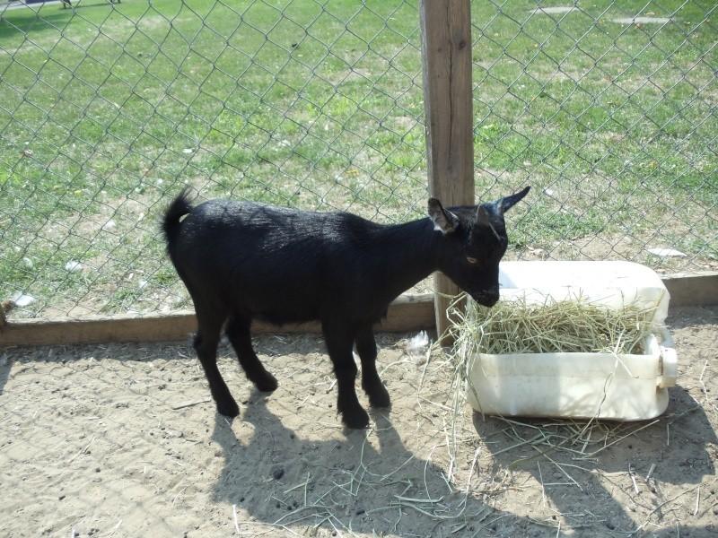 Chèvres miniature à vendre Alexis13