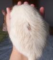 Urine ou sébum sur les poils de ma Jenga ?  100_2111