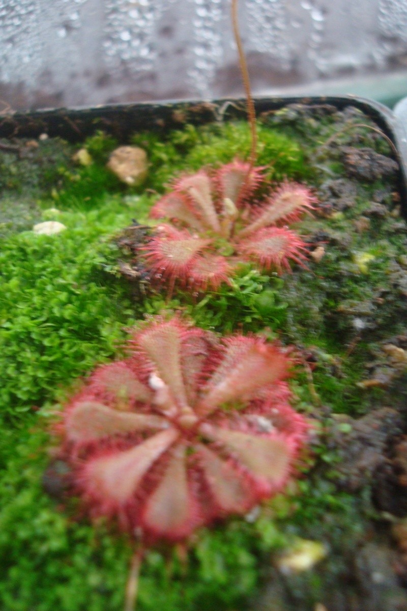 Les plantes de Ted82 - Page 4 D_brev10