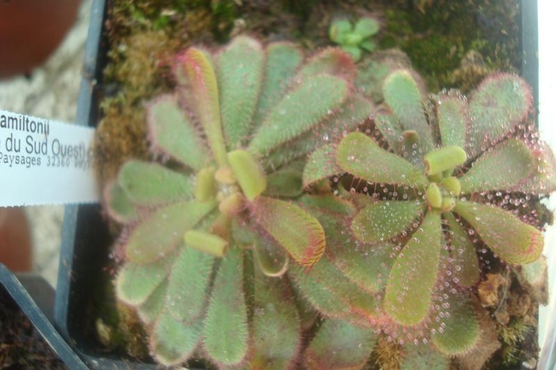 Les plantes de Ted82 - Page 2 D_hami11