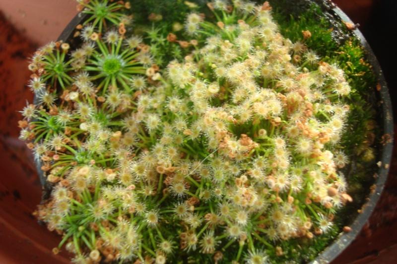 Les plantes de Ted82 - Page 2 D_pygm10