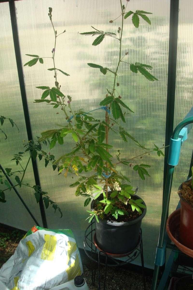 Les plantes de Ted82 Mimosa10