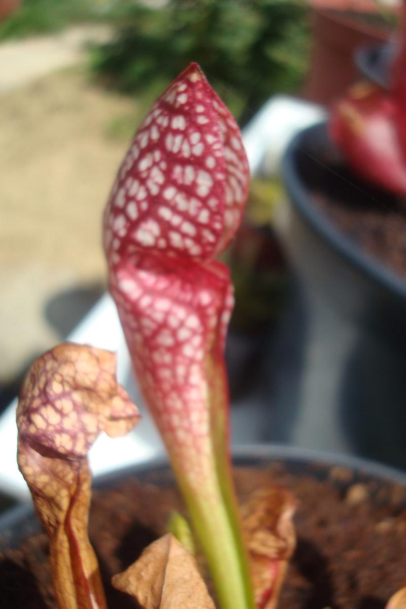 Les plantes de Ted82 S_scar10